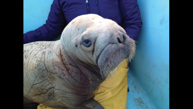 STRANDED— The walrus calf was found on the dredge AU Grabber and overnighted with company in a fish tote until it was transported to the Alaska SeaLife Center in Seward.