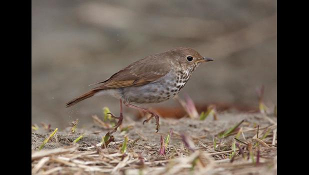 IN A HURRY—This hermit thrush is one of the bird species flocking to the region on their spring migration.