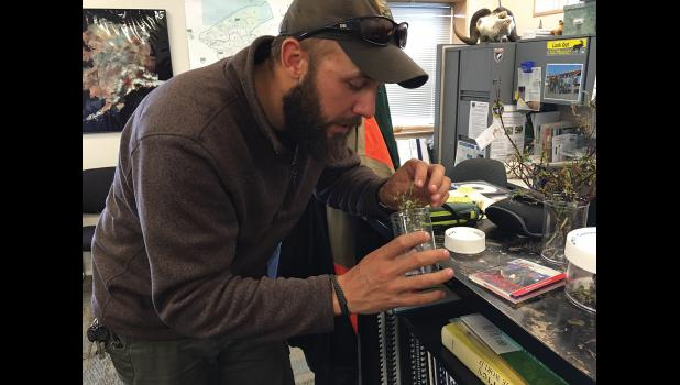 WHERE'D IT GO?—Bill Dunker, biologist, peers into his collection jar to find an example of the green caterpillars that have been dining on willow bushes, making brown patches on the landscape in and about Nome.
