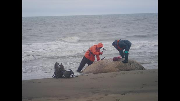 SAMPLING— On September 12, the  Coast Guard flew Vice-Mayor Stanley Tocktoo and Walter Nayokpuk to conduct sampling on walrus carcasses found on the northern Seward Peninsula coast.