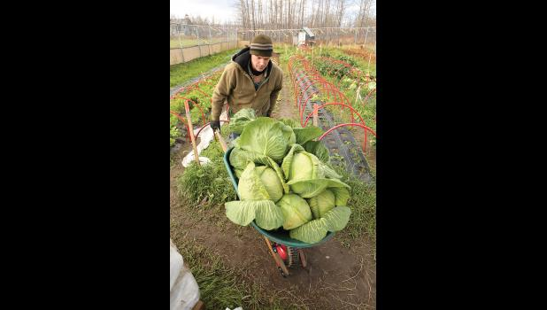 HARVEST TIME— Rob Bensin with Bering Strait Development Corp. pushes a load of cabbages harvested at Pilgrim Hot Springs to the truck for transport to Nome and the farmer's market
