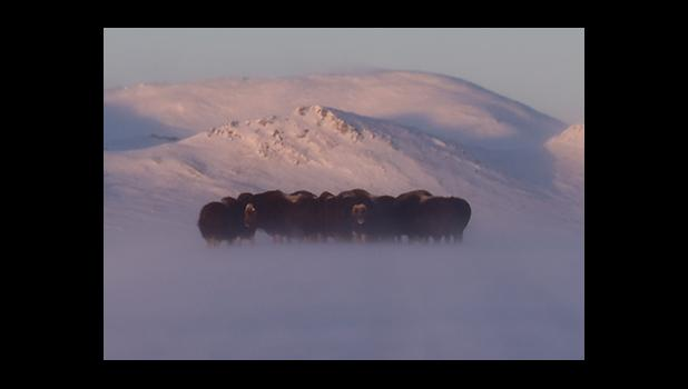 Musk oxen huddle on Glacier Creek Road in the wind.